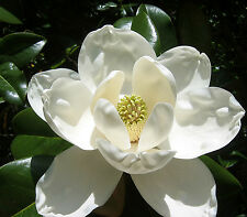 "Live WHITE  ""Magnolias""  plants HIGHLY SCENTRED with Polly pack"