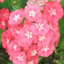 A 0.6g (approx. 360) annual phlox seeds LEOPOLDII old fashioned, heirloom