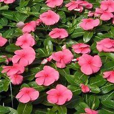 Vinca- Periwinkle- Pink- 50 Seeds - 50 % off sale