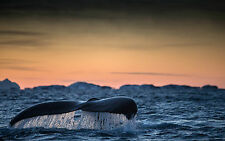 Framed Print - Massive Whale Tail Poking out the Ocean (Picture Poster Art Sea)