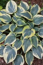 HOSTA PLANT FIRST FROST. BUY 5 GET 1 FREE MY CHOICE