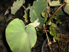 eddo/Taro plants (Live plants for Local pick up 15 Count)