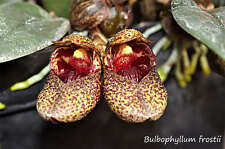 Rare orchid species  (Bloom size) - Bulbophyllum frostii