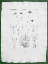 ERIOCAULON STELLARE Pipewort FLower Plant !! 1823 Botanical Antique Print