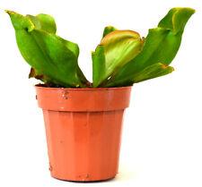 "Large Pitcher Plant - Sarracenia - Carnivorous - Gift Mature Holiday 3"" Pot Nice"