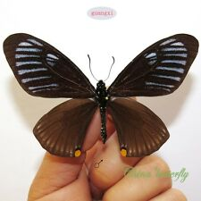 5 pcs collection unmounted butterfly papilionidae Chilasa slateri A1  A1-