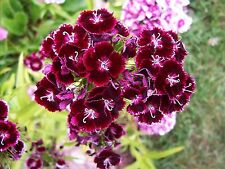 Mixed Colors, Sweet William Seeds, Dianthus, 200+, perennial, free shipping.