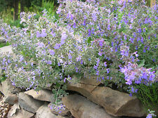 PERSIAN CATMINT * Nepeta racemosa * FRAGRANT FOLIAGE * ATTRACTS BUTTERFLIES SEED