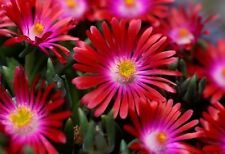 Delosperma sp. RUBY STARS ICE PLANT Hardy Exotic SEEDS!
