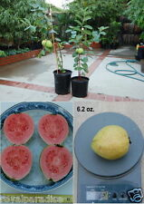 10 Seeds Bonsai Red Guava Apple Guava Superior Taste Tropical Fruit Seeds