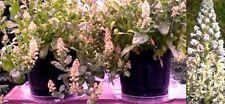 Die Duft Reseda Samen exotische Pflanze Blume für das Frühjahr den Garten Balkon