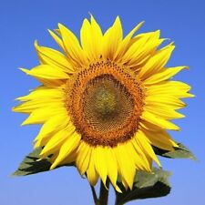 10 Giant Sunflower Seeds - American Giant (Helianthus annuus)
