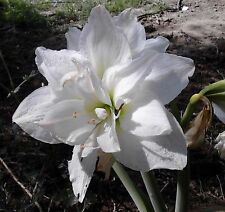 1 Winter Hardy Amaryllis ALASKA~Double White~New Sonatini~14 cm bulb