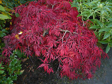 ACER PALMATUM  DISSECTUM -JAPANESE MAPLE- 10 SEEDS