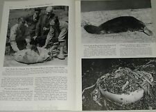 1949 magazine article about the Bronx Zoo, PLATYPUS feeding, worm breeding