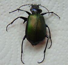 Genuine Real FREAK MUTATION Caterpillar Hunter Beetle Calosoma Spurred Leg Spur