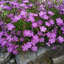 Dianthus- Amur River- 50 Seeds - 50 % off sale
