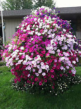 100 seeds of petunia tree wave petals shuttlecock flowers
