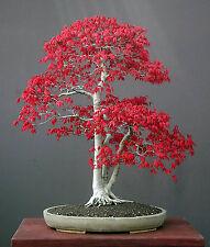 Acer Palmatum Acero Giapponese 25 semi / seeds
