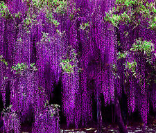 Imported Wisteria Blossom Flower Seeds 5 Pcs/Bag-Long Blossom Plant
