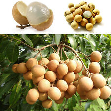 10pcs Fruit bonsai RARE Dwarf Longan Sri Chompoo/Dragon Eye Exotic Fruit Seeds