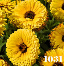 YELLOW POT MARIGOLD - Calendula officinalis nana 400 seeds  ANNUAL FLOWER