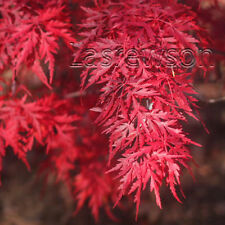 Red Dragon Weeping Laceleaf Japanese Maple Tree Seeds Acer palmatum 100 seeds!