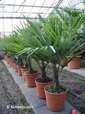 Trachycarpus fortunei - Hanfpalme 70-100cm - Winterhart -18°C