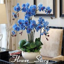 100 Pcs Rare Orchid Bonsai Blue Butterfly Orchid Seeds Beautiful Phalaenopsis