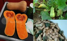 milk sweet honey pumpkin Vegetable seed melon Cucurbita 8 seeds squash gourd