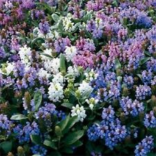 50+ PRUNELLA FLOWER SEED MIX / GROUND-COVER / PERENNIAL