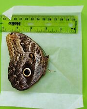 Amazing Placid Owl Butterfly Caligo placidianus Folded/Papered FAST SHIP FROM US
