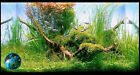 Weeping Moss- fancy Guppies Fish  Live aquarium Plant