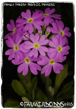 Primula farinosa 'Bird's-eye Primrose' 100+ SEEDS [RARE NATIVE WILD FLOWER!]