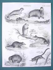 MAMMALS Seal Sea Horse Wombat Opossum - 1840 Fine Quality Antique Print