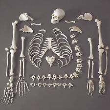 Human Skeleton/Skeletons, Life-Size, Disassembled