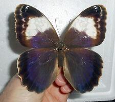 Caligo Martia female (papered/getütet) Brazil
