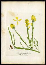 1860 Dietrich-forstpflanzen aIado aulaga – purgans sagittalis #113