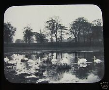 Glass Magic Lantern Slide SWANS ON A POND C1900 BIRDS