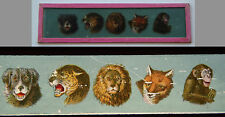 Ancienne plaque verre magic lanterne magique photo fin XIX° lion renard singe