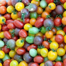 All Weather 50 Rainbow Tomato Seeds All Year Round Yard Vegetable Free Shipping
