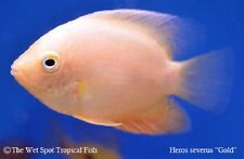 "(6) 1.5"" Gold Severum Heros severus TR live freshwater tropical cichlid fish"