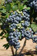 Rare Seeds. 300  american giant blueberry fruit seeds Germination 95%+