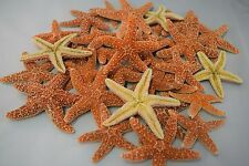 "Sugar StarFish Sea Shell Wedding Real Craft 3"" - 4"" (30 pcs)"