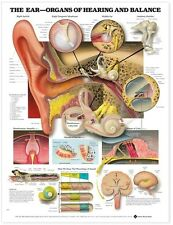 THE EAR: ORGANS OF HEARING AND BALANCE POSTER (66x51cm) ANATOMICAL CHART NEW EDU