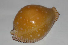 Conchiglia Shell  CYPRAEA GUTTATA mm 60 Bicallosa Filippine Molto Rara