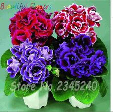 Gloxinia Seeds, Potted Flower Seeds Perennial Flowering Plants Sinningia
