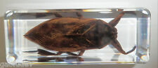 Giant Water Bug Lethocerus deyrollei in clear Block Education Insect Specimen