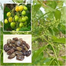 Azadirachta indica 50 Seeds, Neem, Ineem, Indian Lilac, Herb Seeds From Thailand