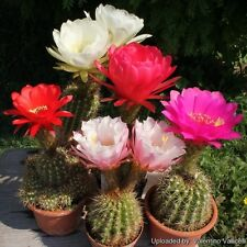 Cactus seeds - Trichocereus hybrid mix - Pack of 5 seed